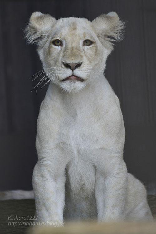 2019.11.4 東北サファリパーク☆ホワイトライオンのイチゴちゃん_<その3>(完)【White lion】_f0250322_20353825.jpg