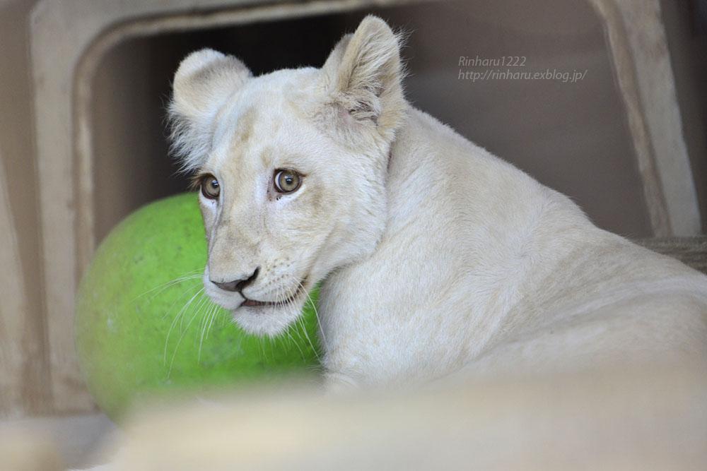 2019.11.4 東北サファリパーク☆ホワイトライオンのイチゴちゃん_<その3>(完)【White lion】_f0250322_20355040.jpg
