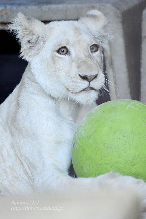 2019.11.4 東北サファリパーク☆ホワイトライオンのイチゴちゃん_<その3>(完)【White lion】_f0250322_20355788.jpg