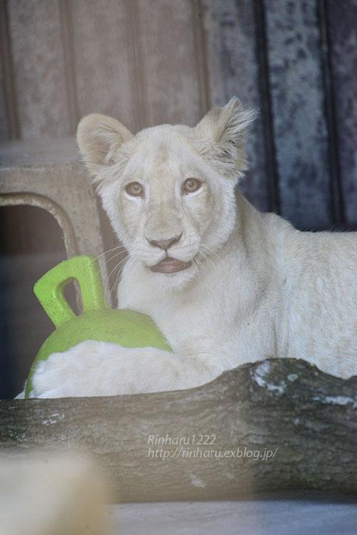 2019.11.4 東北サファリパーク☆ホワイトライオンのイチゴちゃん_<その3>(完)【White lion】_f0250322_20361418.jpg