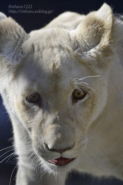 2019.11.4 東北サファリパーク☆ホワイトライオンのイチゴちゃん_<その3>(完)【White lion】_f0250322_20361934.jpg