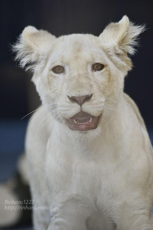 2019.11.4 東北サファリパーク☆ホワイトライオンのイチゴちゃん_<その3>(完)【White lion】_f0250322_20362526.jpg