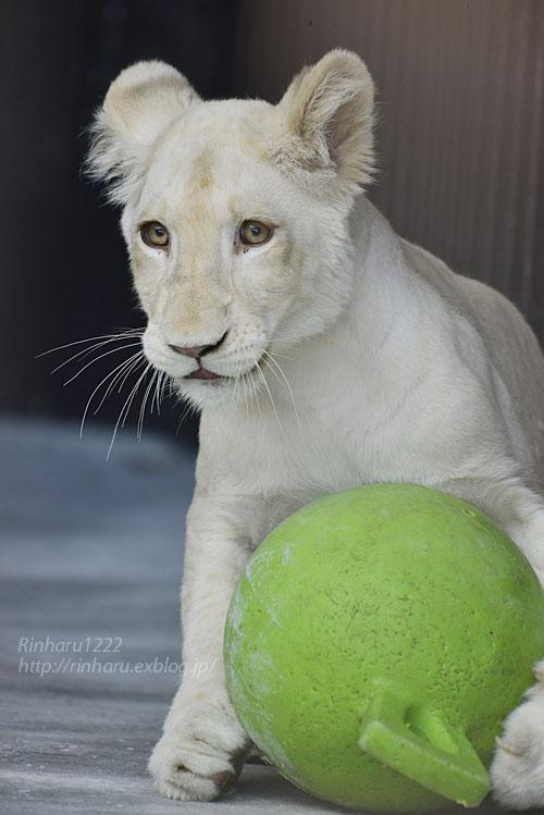 2019.11.4 東北サファリパーク☆ホワイトライオンのイチゴちゃん_<その3>(完)【White lion】_f0250322_20363647.jpg