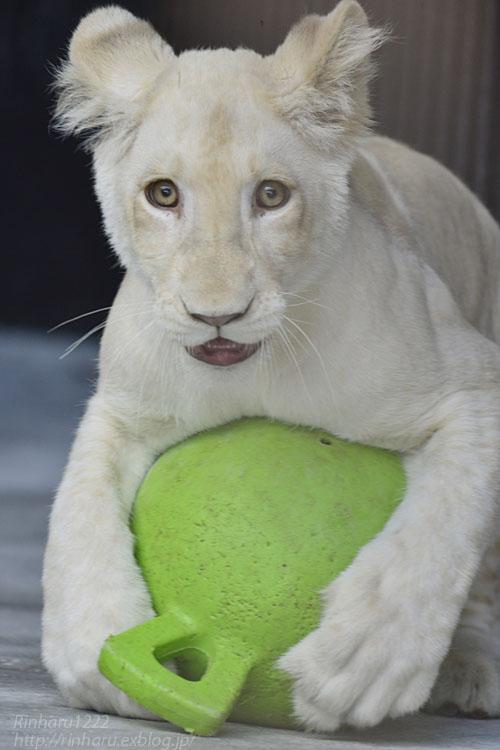 2019.11.4 東北サファリパーク☆ホワイトライオンのイチゴちゃん_<その3>(完)【White lion】_f0250322_20364136.jpg
