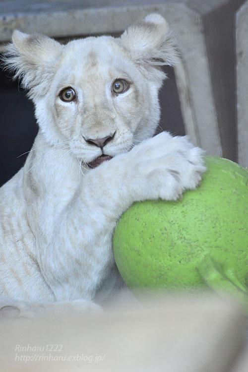 2019.11.4 東北サファリパーク☆ホワイトライオンのイチゴちゃん_<その3>(完)【White lion】_f0250322_2036667.jpg