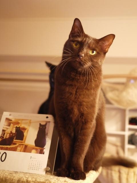 2020年版猫めくりカレンダー猫 てぃぁらあんしゃぁりぃめりぃぽぴんず編。_a0143140_22235015.jpg