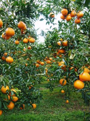 究極の柑橘「せとか」 令和2年も出荷は2月中旬より!収穫まで1ヶ月前の様子を現地取材(後編)_a0254656_16382514.jpg