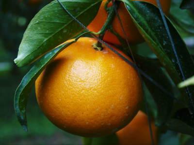 究極の柑橘「せとか」 令和2年も出荷は2月中旬より!収穫まで1ヶ月前の様子を現地取材(後編)_a0254656_16475974.jpg