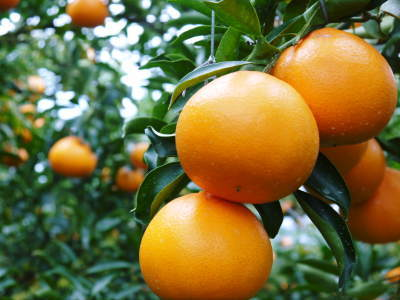 究極の柑橘「せとか」 令和2年も出荷は2月中旬より!収穫まで1ヶ月前の様子を現地取材(後編)_a0254656_16514293.jpg