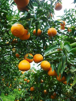究極の柑橘「せとか」 令和2年も出荷は2月中旬より!収穫まで1ヶ月前の様子を現地取材(後編)_a0254656_17164131.jpg