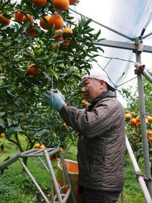 究極の柑橘「せとか」 令和2年も出荷は2月中旬より!収穫まで1ヶ月前の様子を現地取材(後編)_a0254656_17311508.jpg