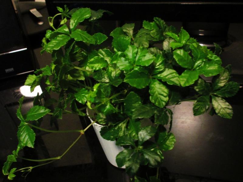 植物「リベンジのパーセノシッサス・シュガーバイン」_b0362459_20133975.jpg