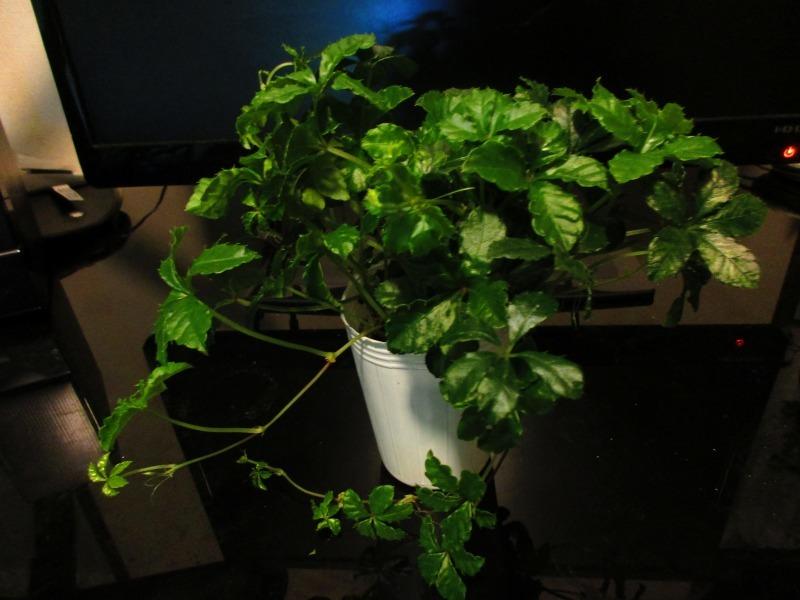 植物「リベンジのパーセノシッサス・シュガーバイン」_b0362459_20133983.jpg