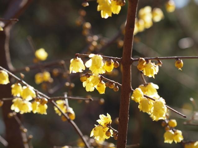 蝋梅が満開になりました_e0232277_20400647.jpg