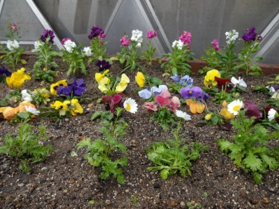 ガーデンふ頭総合案内所前花壇の植替えR2.1.17_d0338682_09243045.jpg