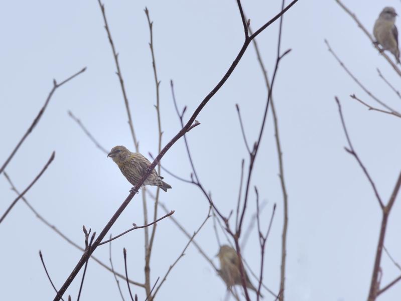 今シーズンのイスカたち(幼鳥が近くに)_a0204089_17332369.jpg