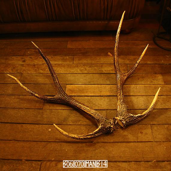 素材 蝦夷鹿のツノ deerhorn シカツノ_e0243096_19020713.jpg