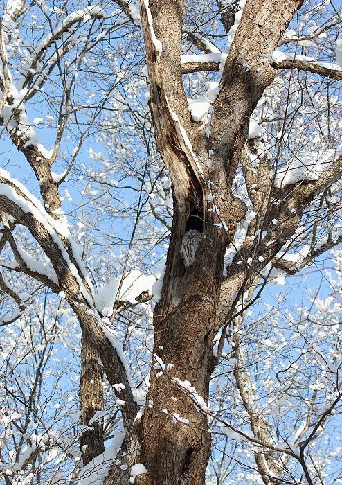 雪がやんだ森にて・・エゾフクロウ_c0113597_13125829.jpg