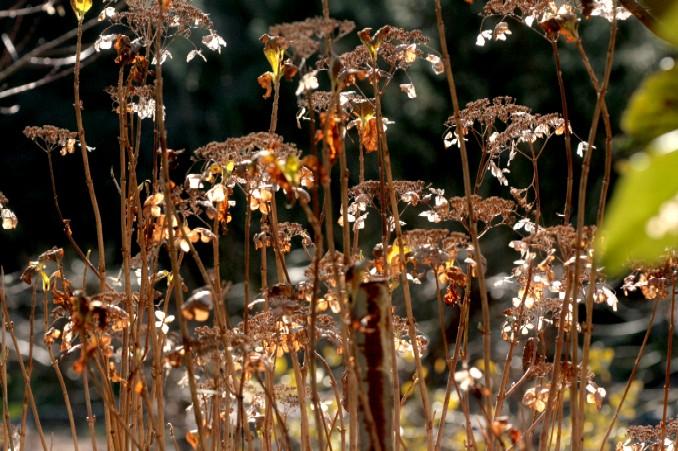ホッタラカシにされている 冬のアジサイ_d0140806_15414750.jpg