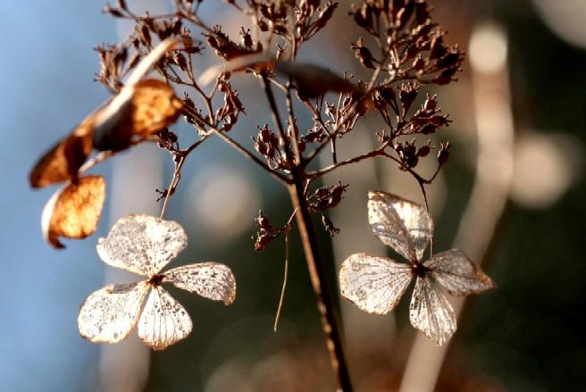 ホッタラカシにされている 冬のアジサイ_d0140806_15432557.jpg