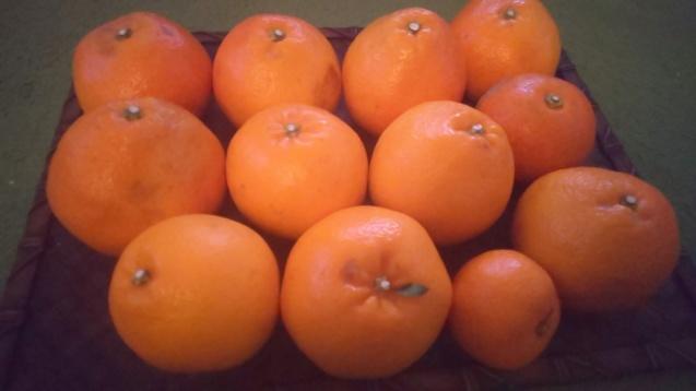 愛媛色々柑橘_c0124528_10423008.jpg