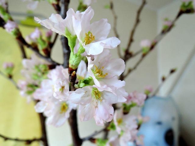 1月に桜_c0062832_12572028.jpg