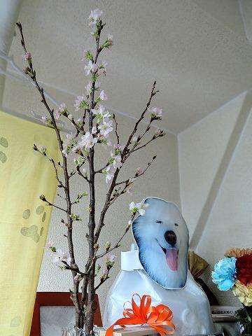 1月に桜_c0062832_12572088.jpg