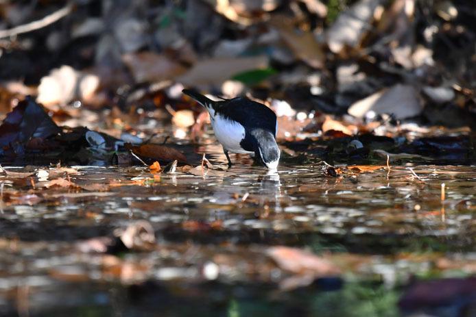 水場で採餌するセグロセキレイ_d0149245_09182805.jpg
