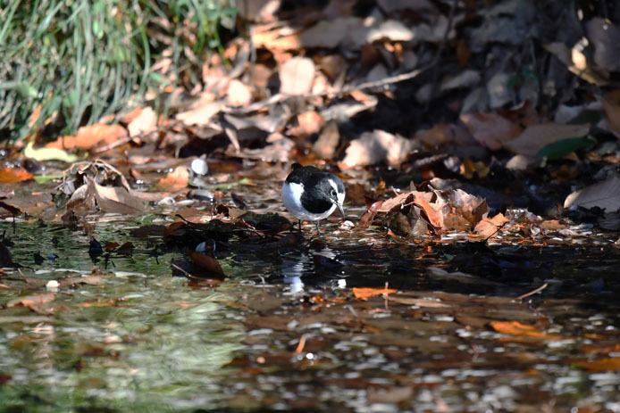 水場で採餌するセグロセキレイ_d0149245_09183561.jpg