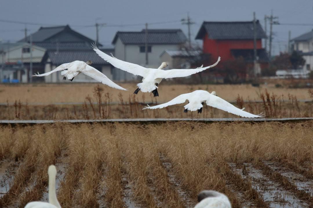 白鳥1/20_e0403850_00280609.jpg