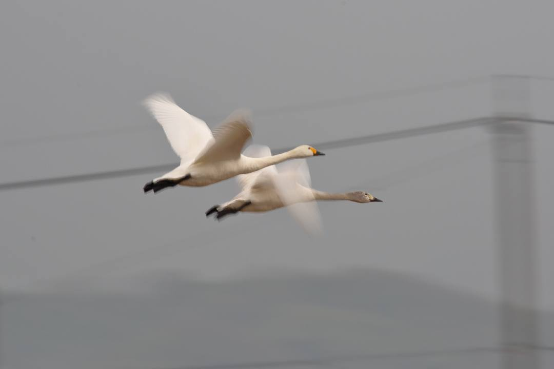 白鳥1/20_e0403850_00284133.jpg