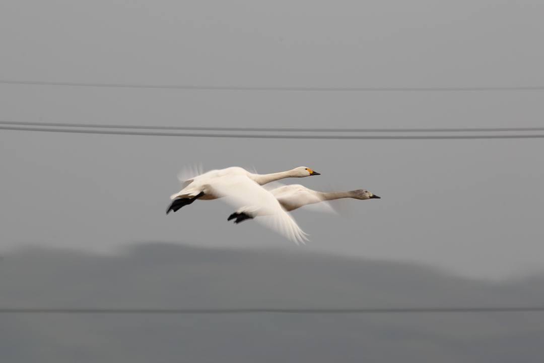 白鳥1/20_e0403850_00284580.jpg