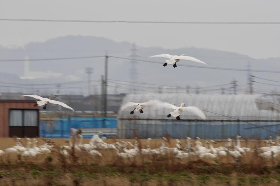 白鳥1/20_e0403850_00285081.jpg