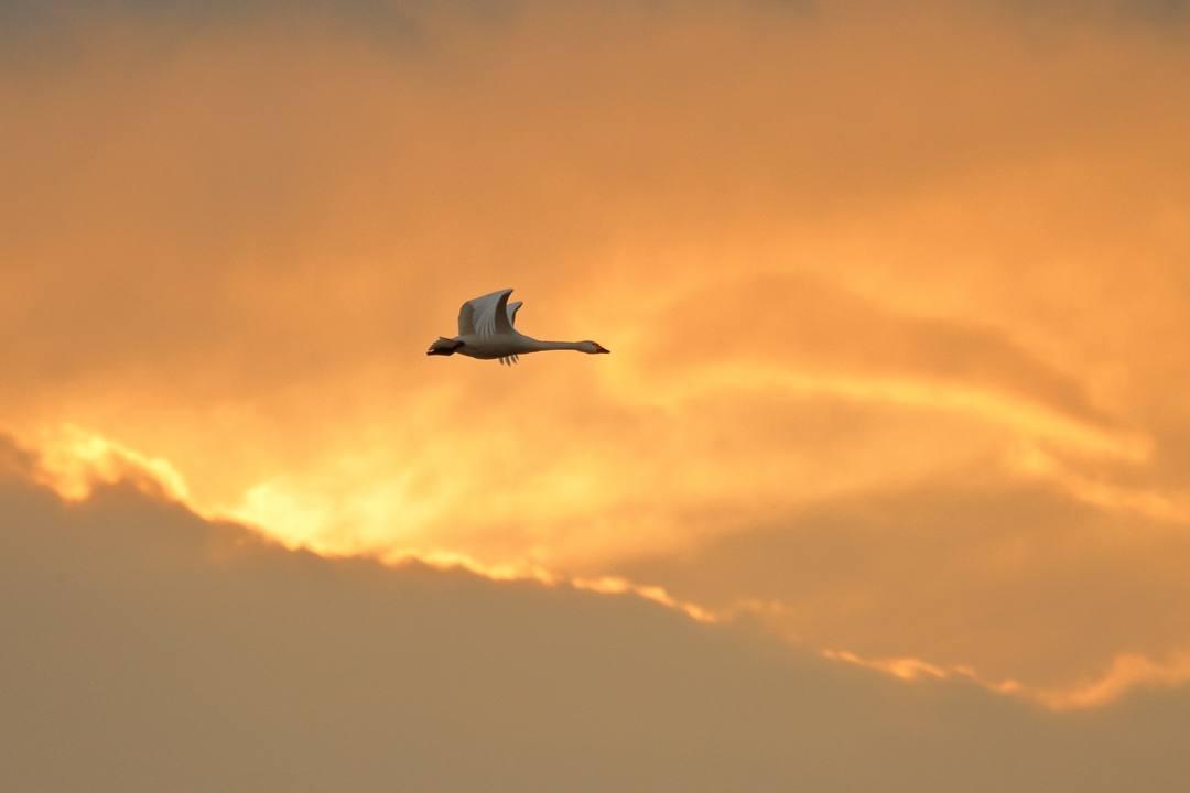 白鳥1/20_e0403850_00285986.jpg