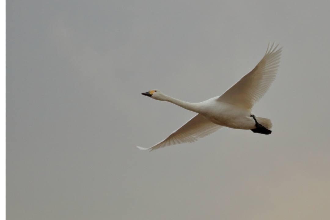 白鳥 1/20その2_e0403850_21462406.jpg