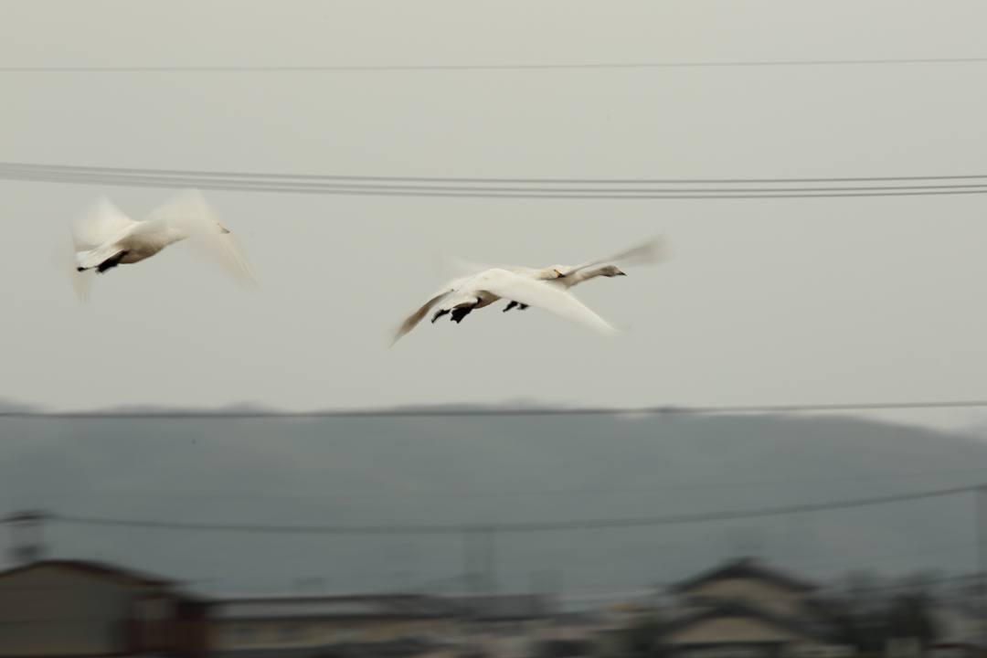 白鳥 1/20その2_e0403850_21463868.jpg
