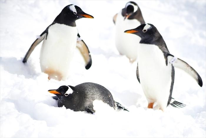 ペンギンの雪中散歩_d0001157_13245280.jpg