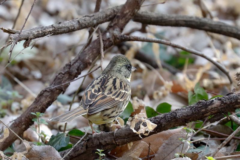 冬鳥のごく普通の・・・_f0368272_20185366.jpg