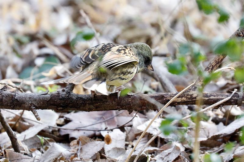 冬鳥のごく普通の・・・_f0368272_20210932.jpg