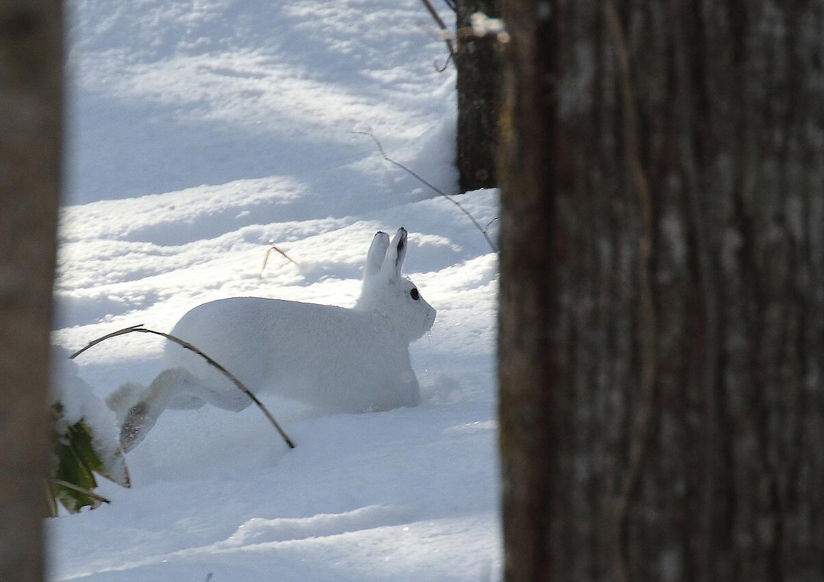 冬毛のエゾユキウサギ_c0113597_13431569.jpg