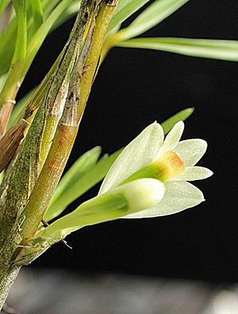 Den.vexillarius f.albiviride _d0007501_07203846.jpg