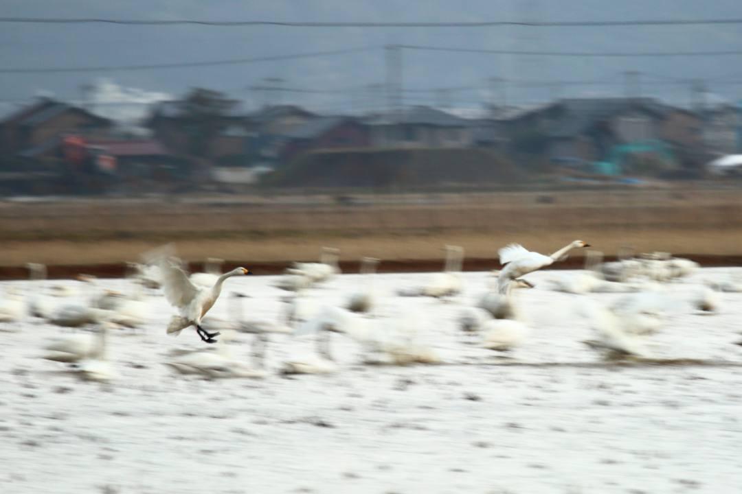 白鳥 1/20その3_e0403850_20185374.jpg