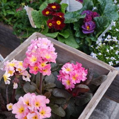オークリーフ(今日のお店の花たち)_f0049672_16264304.jpg
