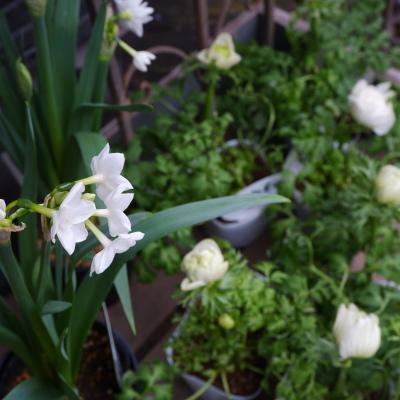 オークリーフ(今日のお店の花たち)_f0049672_16264548.jpg