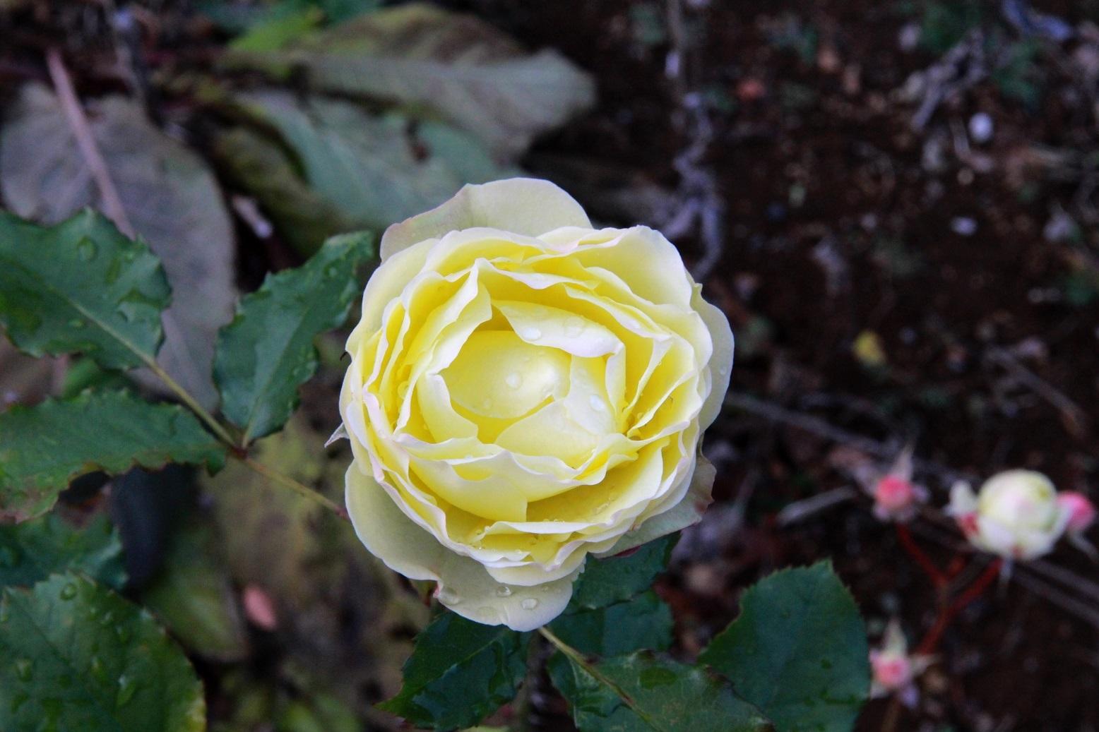 1月22日の薔薇_a0107574_14283056.jpg