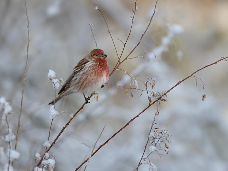 雪とオオマシコたち(2)(枝先編)_a0204089_20581863.jpg