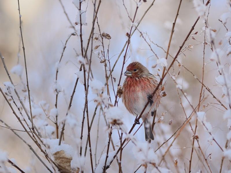 雪とオオマシコたち(1)(燦爛編)_a0204089_21401599.jpg