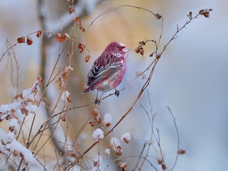 雪とオオマシコたち(3)(雄成鳥編)_a0204089_21442551.jpg