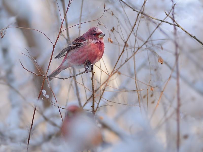 雪とオオマシコたち(3)(雄成鳥編)_a0204089_2144335.jpg
