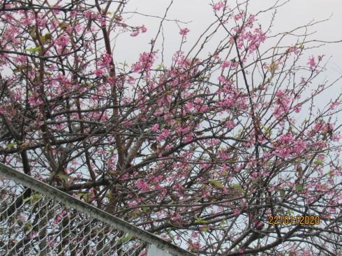 1/22  狂い咲き_e0185893_07350780.jpg